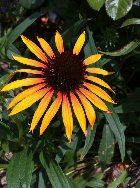 Echinacea 'Flame Thrower