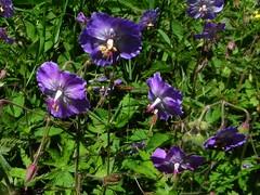 Geranium brun=Geranium phaeum - Bellevaux 089