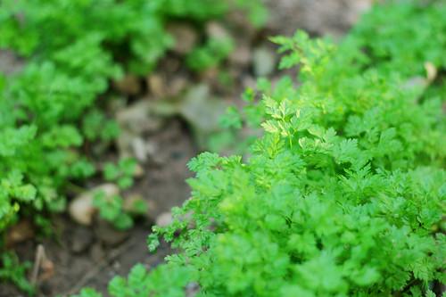 groensel4