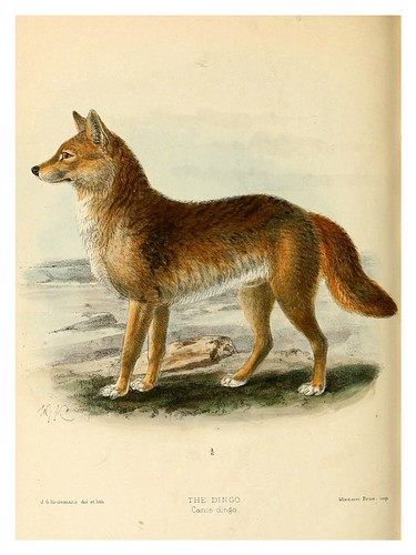 003-El dingo-Dogs jackals wolves and foxes…1890- J.G. Kulemans