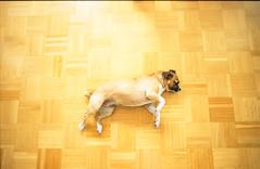 Superdog (Fa.bian) Tags: dog film analog flying floor parkett parquet slide hund 135 canona1 superdog boden fujiprovia100f bildermacher fabiangehweiler