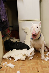 Spuds product testing service (Spud the Bull Terrier) Tags: test dog white english three bed destruction bull terrier peaks spud