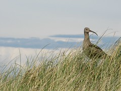 Curlew at Ballaghennie (little-acorns) Tags: bird nature sand wildlife dunes reserve ayres isleofman manx curlew wader ballaghennie