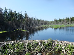Beaver dam, Bay of Fundy National Park