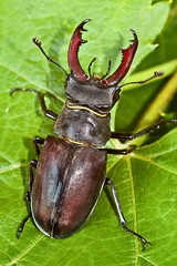 Male Stag Beetle (File:IMG_4867) (Beto Frota) Tags: uk england male london nature countryside stag britain wildlife natureza antlers jaws stags southeastlondon lucanidae stagbeetles mandibles malestagbeetle familylucanidae wildlifeandcountrysideact1981 britainslargestterrestrialbeetles londonbiodiversity