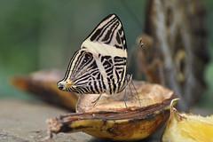 Dirce Beauty (Truus & Zoo) Tags: netherlands amsterdam animals butterfly zoo nederland artis vlinder dierentuin coloburadirce zebramosaic dircebeauty