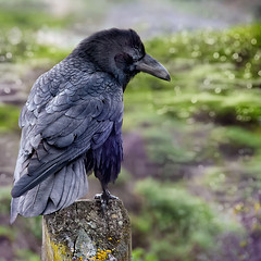 HFF {To my amazement there stood a raven} Edition! (pixelmama) Tags: california bokeh menacing lichen bakerbeach fencepost edgarallenpoe diabolical theraven sanfranciscocalifornia nevermore corvuscorax hff thealanparsonsproject quoththeravennevermore suddenlytherecameatapping onlythisandnothingmore fencefriday pixelmama tomyamazementtherestoodaraven anunkindessofravens tappingatmychamberdoor