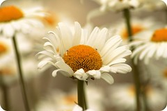 Oxeye Daisy (Alicia Lynn) Tags: usa white nature fauna wisconsin outdoors flora blossom wildlife cluster blossoming bud wi picnik flourishing floweret floret oxeyedaisy outdoorsflower friendlychallenges canonrebelxti alicialynncook northamerica 20110625
