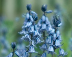 Blue Bells {131/365}