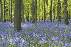 Bluebells (image 3 of 6) (Full Moon Images) Tags: wood bluebells woodland ancient nt ridge national trust ash wildflower bluebell docket