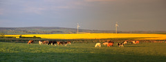 Pastoral_Panorama (teuchter10) Tags: morning light panorama digital golden early spring cows image wind sony rape fields mills davidson greig