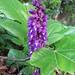 Au jardin, orchidée sauvage, Bosdarros, Béarn, Pyrénées Atlantiques, Aquitaine, France.