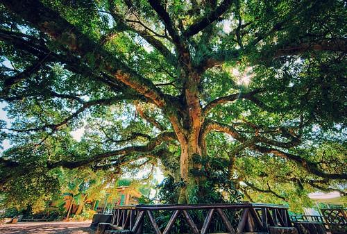 Figueira Centenária - Quinta da Estância - Viamão