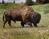 Bison on the Move 1 (hunter20ga) Tags: summer spring buffalo nd prairie bison ungulate d4 trnp 7020028