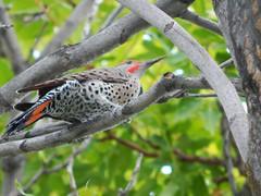 Northern Flicker (starmist1) Tags: northernflicker male flicker paradisetree frontyard bird birds birdwatching