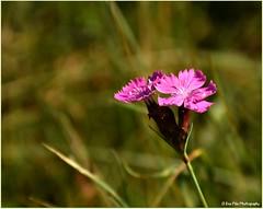 Pechnelke (mayflower31) Tags: blume flower wiese herbst