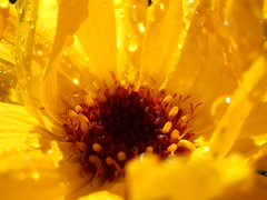 Sunshine on a rainy day 2 (jintysworld) Tags: flowers garden explore