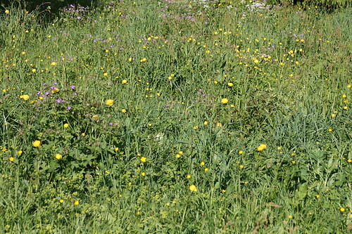 20110605_blomstereng by michael vester