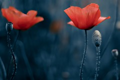 Flowers in a blue world (una cierta mirada) Tags: poppy poppies flowers blue red nature macro spring closer