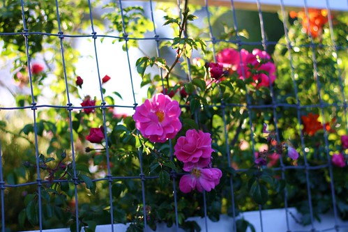 the neighbors fence of roses