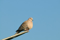 Collared Dove (DodderyIceDry is back online) Tags: uk bird london nature dove wildlife middlesex collareddove streptopeliadecaocto 70200mmf28gvr hounslowheath nikond300 capturenx2