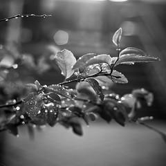 Triangle Walks (Stephen Kirk) Tags: summer urban blackandwhite black rain 50mm blossom bokeh 5d 1x1 canoneos5d canonef50mmf18ii