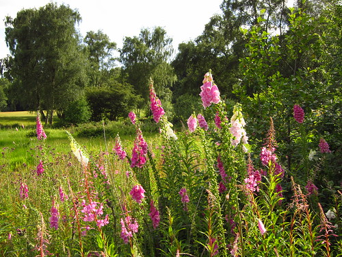 Foxgloves on Hampstead Heath