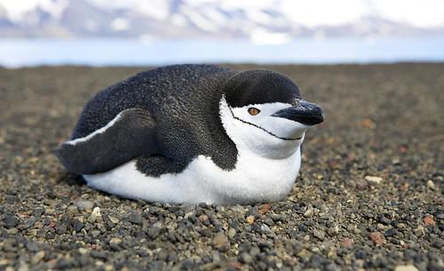[フリー画像] 動物, 鳥類, ペンギン, ヒゲペンギン, 201107010500