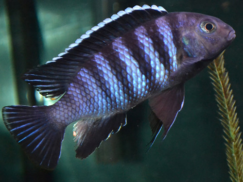 Tropheops sp. 'higga' Higga Reef
