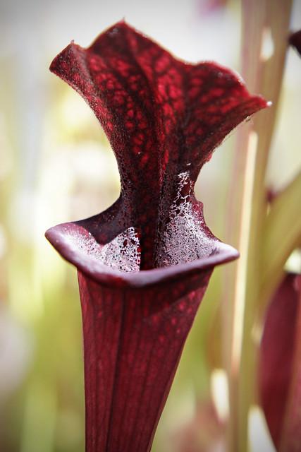 "Sarracenia leucophylla ""Purple Lips"" x flava var. ornata"