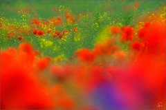 colourful (Sandra Bartocha) Tags: rape poppies colourful bun mohn cornflowers mohnf