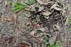 Adenanthera pavonina L. (Ahmad Fuad Morad) Tags: saga beadtree redbeadtree Taxonomy:family=fabaceae sagatelik Geo:country=malaysia redsandalwoodtree coralwood sandalwoodtree redsandalwood sagahutan falseredsandalwood redbeantree Taxonomy:binomial=adenantherapavonina zumbictree sandalbeadtree falsejequirity sagadauntumpul sagatumpul kenderibatang kenduribatang segawesabrang malatinglin circassiantree