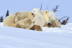 Snuggle Time (chaines9) Tags: manitoba polarbear churchill coth supershot wapusknationalpark specanimal polarbearcub specanimalphotooftheday coth5 dailynaturetnc11 tnc11 photocontesttnc12 highqualityanimals dailynaturetnc12 nww12 photoofthedaynwf12 motherstnc13