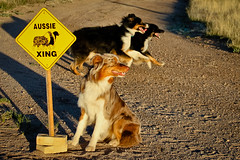 18/52 (RocketDog1170) Tags: dog canine australianshepherd aussies crossingguard redmerle blacktri 52weeksfordogs
