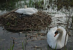 Swans-87 (Plbmak) Tags: lake water parents swan pond nest pair guard parent swans breeding nesting brood thegalaxy mygearandme