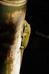 National Tropical Botanical Garden - color changing green lizard 2 (Journey of A Thousand Miles) Tags: seascape hawaii kauai 2012 poipubeachpark