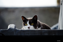 Cat On A Hot Tin Roof! ~ EXPLORE! (BGDL) Tags: roof pet cat milo nikond7000 ourdailychallenge elementsorganizer