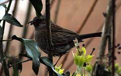 DSC_7483 Blackbird (PeaTJay) Tags: blackbird gardenbirds carlsbirdclub