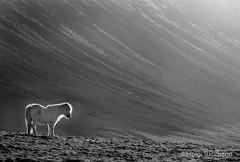White horse in b/w (Helgi Skulason photographer) Tags: horse whitehorse icelandichorse helgiskulason