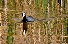 Foulque macroule (Diegojack) Tags: eau lac oiseaux foulques mfcc