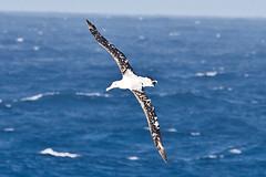 010001-IMG_2391 Wandering Albatross (Diomedea exulans ?) (ajmatthehiddenhouse) Tags: bird 2012 wanderingalbatross diomedeaexulans diomedea exulans wpo2012