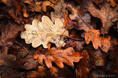 Winter foliage (Christos Andronis) Tags: winter orange brown nature wet colors leaves yellow closeup season landscape outdoors europe quiet decay warmth peaceful tranquility foliage greece serenity serene waterdrops tranquilscene epirus beautyinnature zagori îïîμî¹ïî¿ï