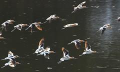 American avocets landing on Floating Island Lake (YellowstoneNPS) Tags: nationalpark yellowstonenationalpark yellowstone