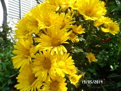 Crisantemo(crisante) (fonseca27) Tags: planta casa natureza jardim flres