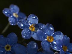 Dråpar (Halvor Skurtveit) Tags: drops raindrops dogg dråpe dugg dråper dråpar