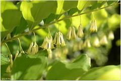 Salomonssiegel (mayflower31) Tags: flower blume weiswurz spargelgewchs