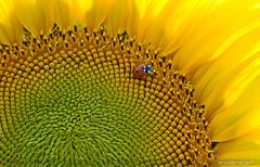 SUMMER (ArvinderSP) Tags: summer india closeup photography sunflower ladybug newdelhi macrophotography 546 natureupclose arvindersingh arvindersp arvinderspcom