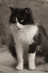 princesa #3 (susodediego ) Tags: bw grancanaria cat gato katze princesa canaryislands soe autofocus thegalaxy frameit sigma150mmf28exhsm nikond300 simplysuperb gününeniyisi olétusfotos flickrstruereflection1 rememberthatmomentlevel1 magicmomentsinyourlifelevel1 vpul01 infinitexposure shejala