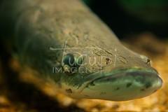 Pirarucu (Arapaima), Manaus-AM. (TUCUPI IMAGENS) Tags: amazonfish amazonas américadosul arapaima brasil brazil color colorfull colorido fish peixe peixedaamazônia peixedeáguadoce peixesdaamazônia pirarucu pirarucuarapaima southofamerica sudamerica suramerica