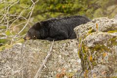 Sleeping beauty (ChicagoBob46) Tags: blackbear bear boar yellowstone yellowstonenationalpark nature wildlife